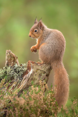 Red Squirrel - Raymond Leinster